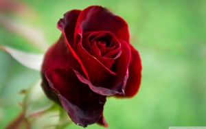 Rose-meaning-color